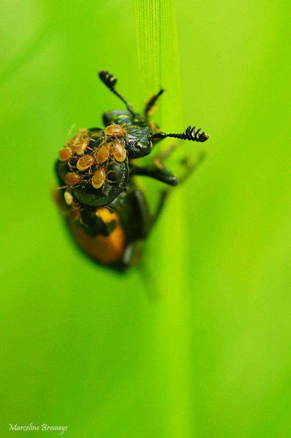 acarien sur insecte