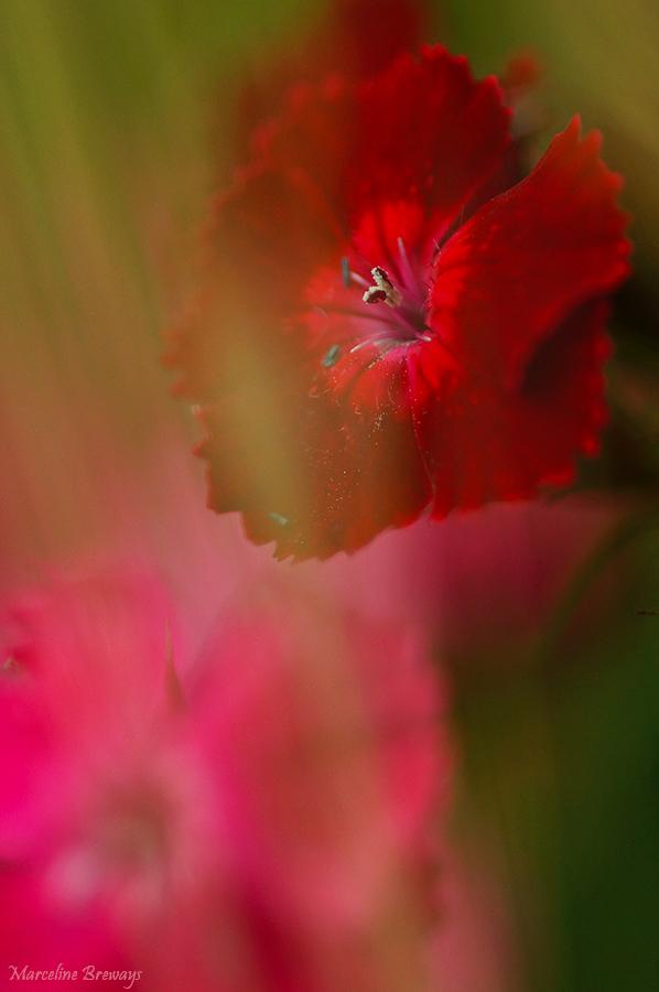 oeillet rouge et rose