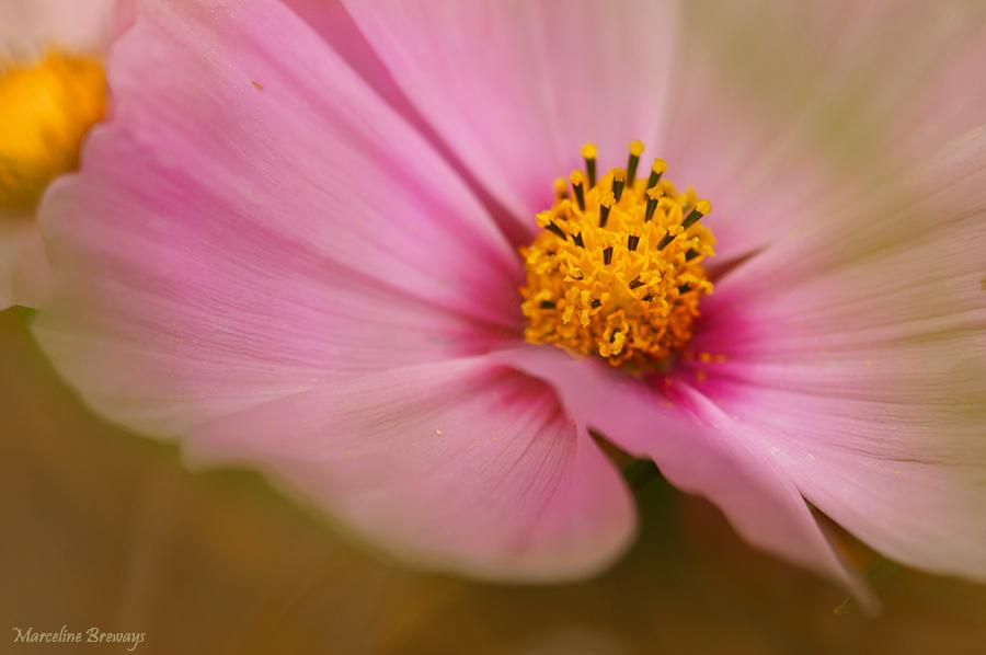 Cosmos rose