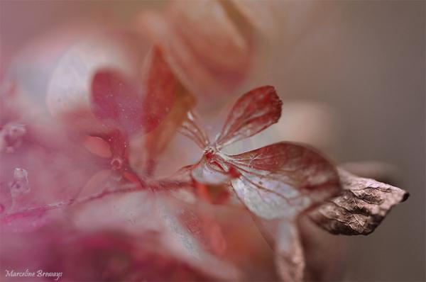 hydrangea en automne