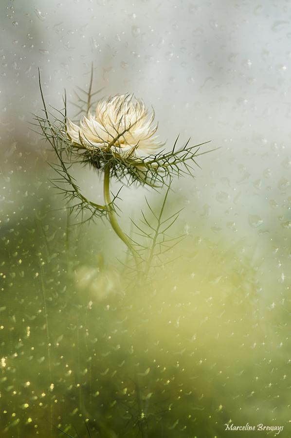 Fleur de nigelle