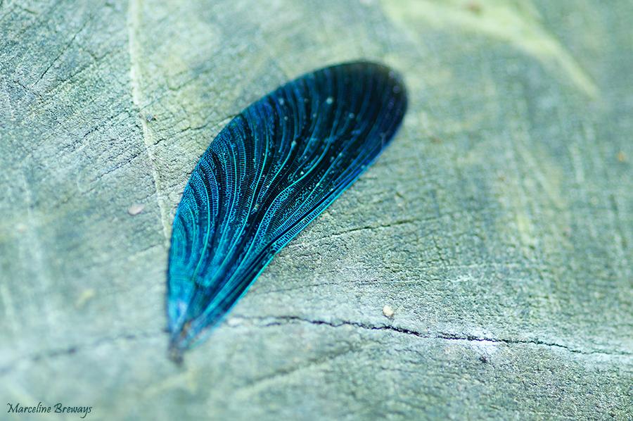 aile de caléptorix