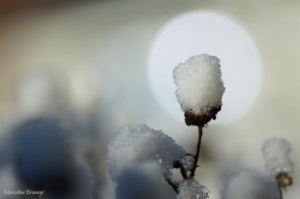 fleur sous la neige