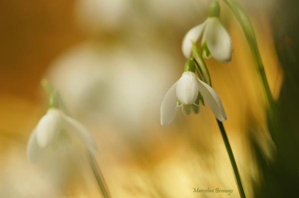 perce-neige en fleurs
