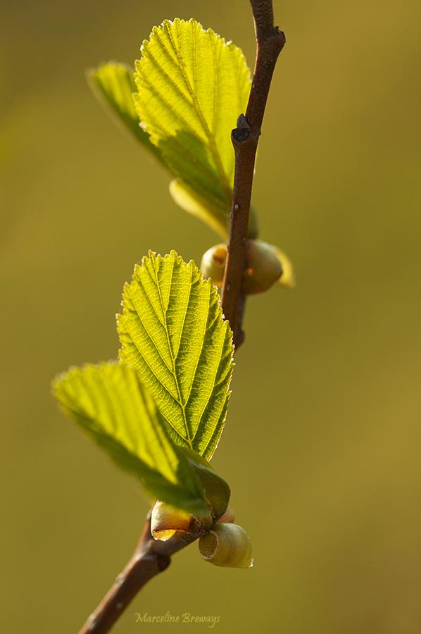 Feuilles d'arbre au printemps