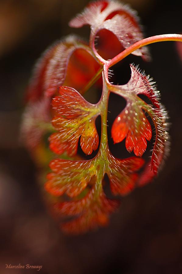 feuille de géranium herbe-à-robert