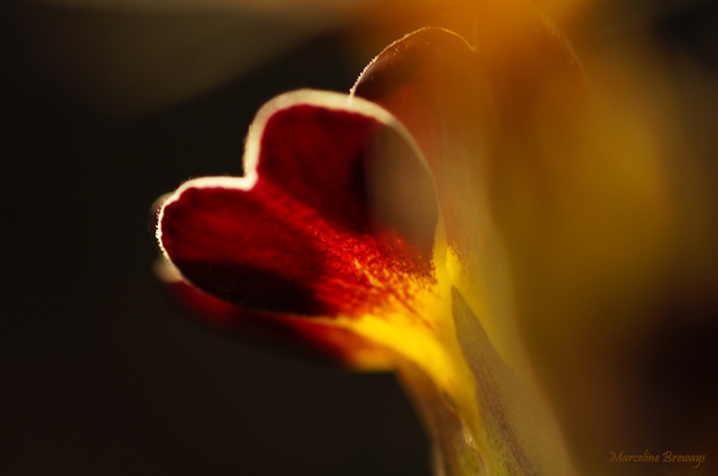 primevère au printemps