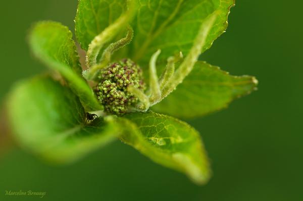 fleur de sureau