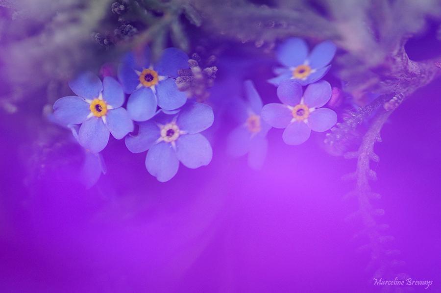 myosotis bleu