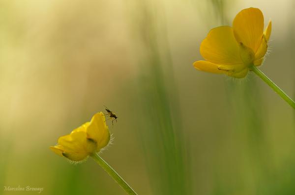 bouton d'or et insecte