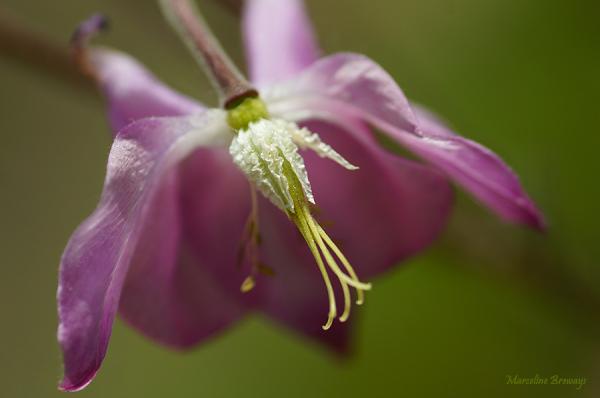fleur d'ancolie