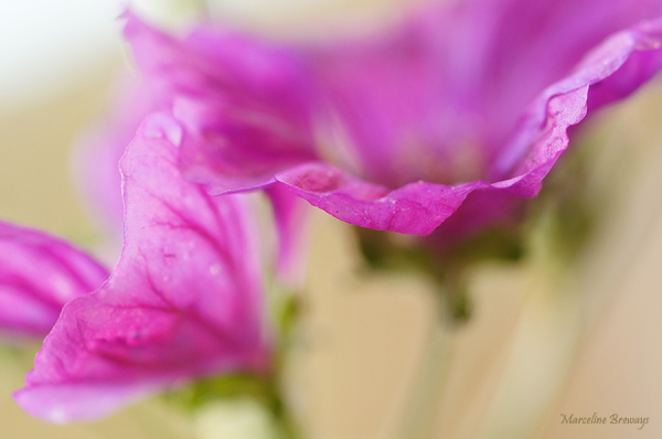 fleur de lavatère