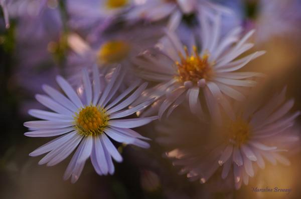 fleur d'aster