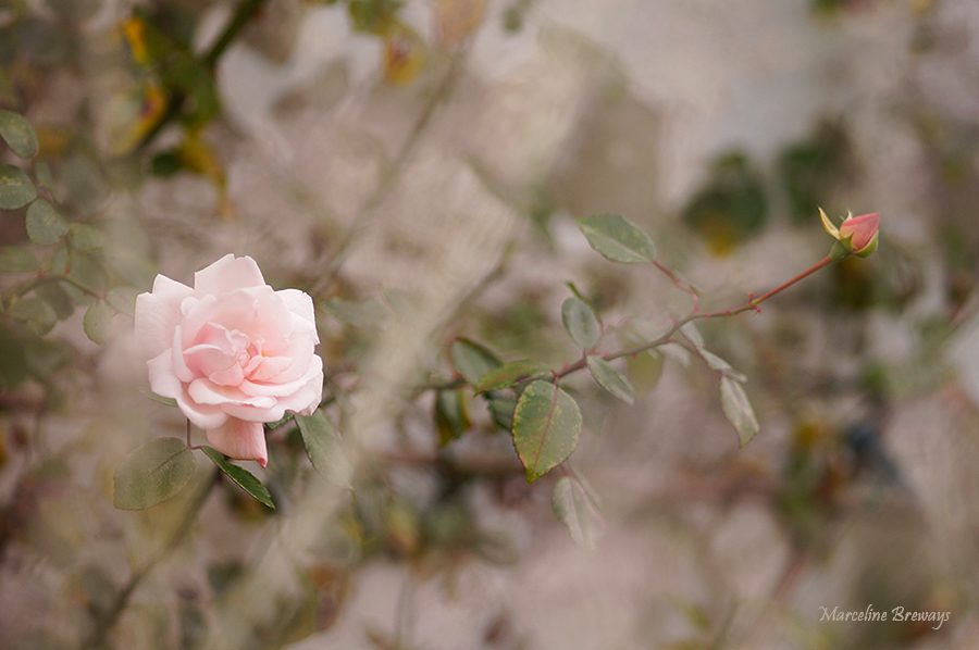 rose  fin d'automne