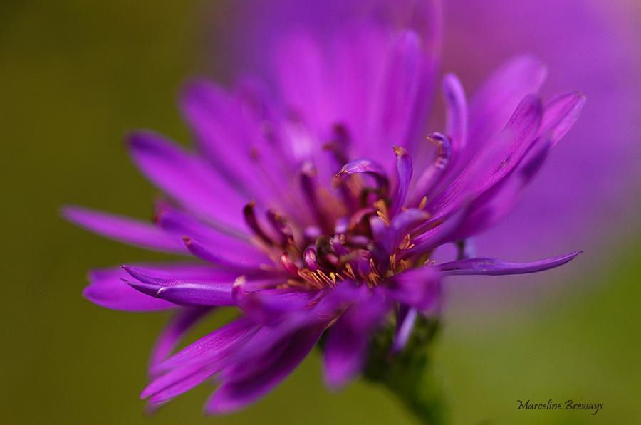 fleur de centaurée