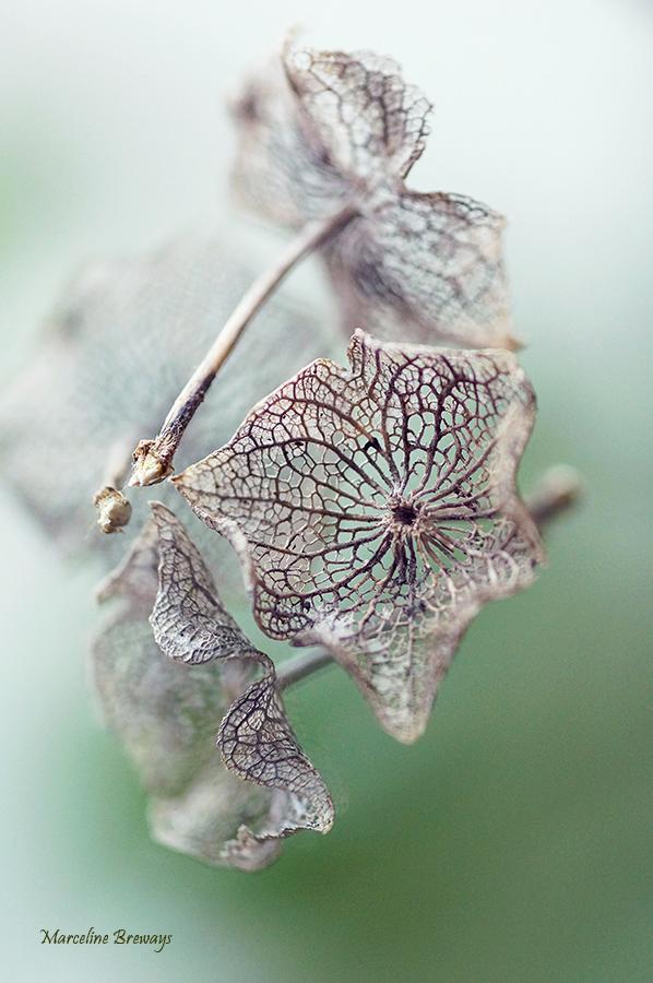 fleur de lavatère séchée