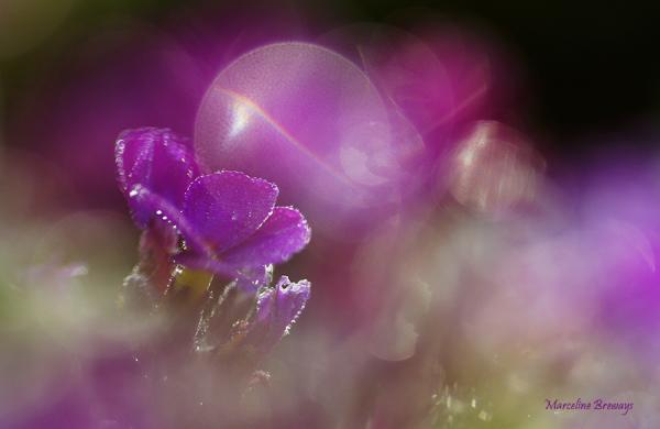 aubriette fleur