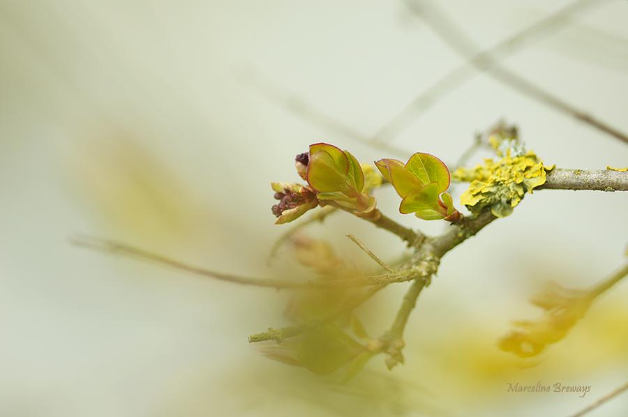 lilas printanier