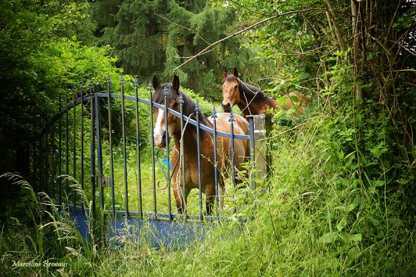 chevaux et campagne