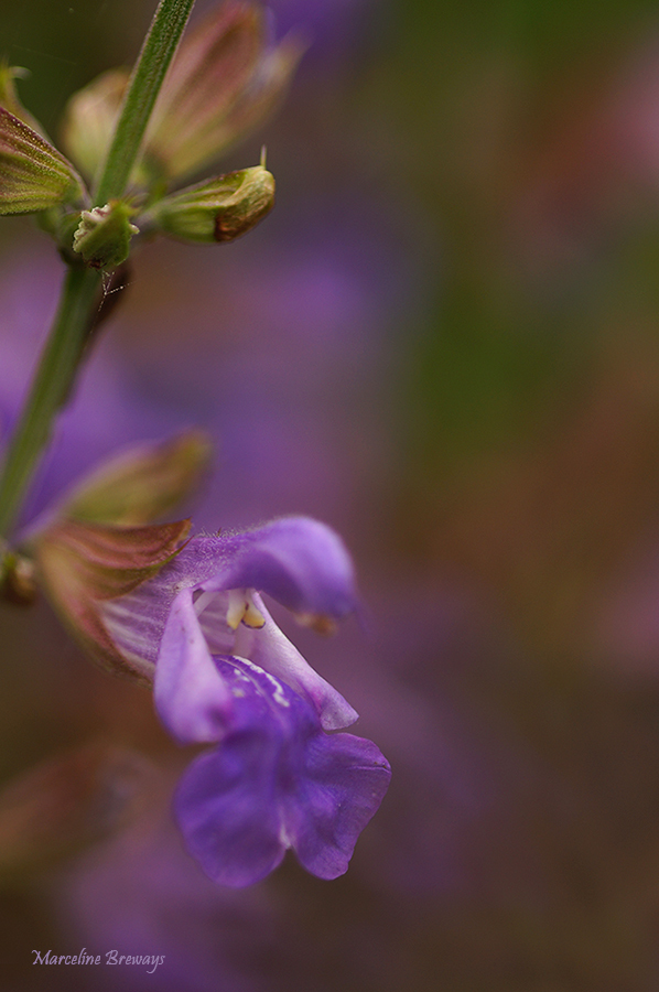 fleurde sauge
