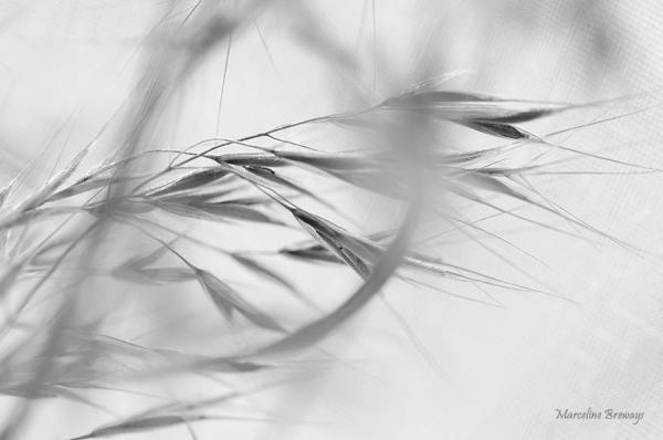 folle avoine en noir et blanc