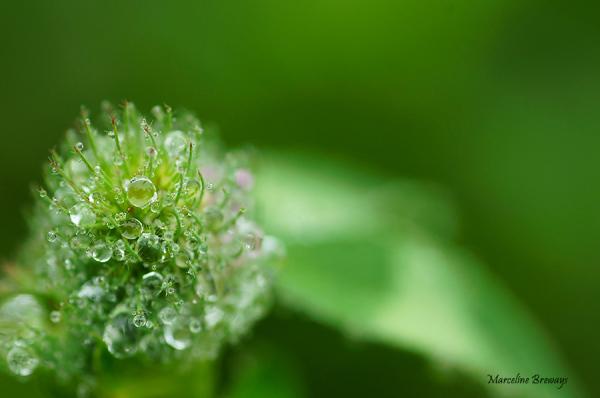 fleur de trèfle