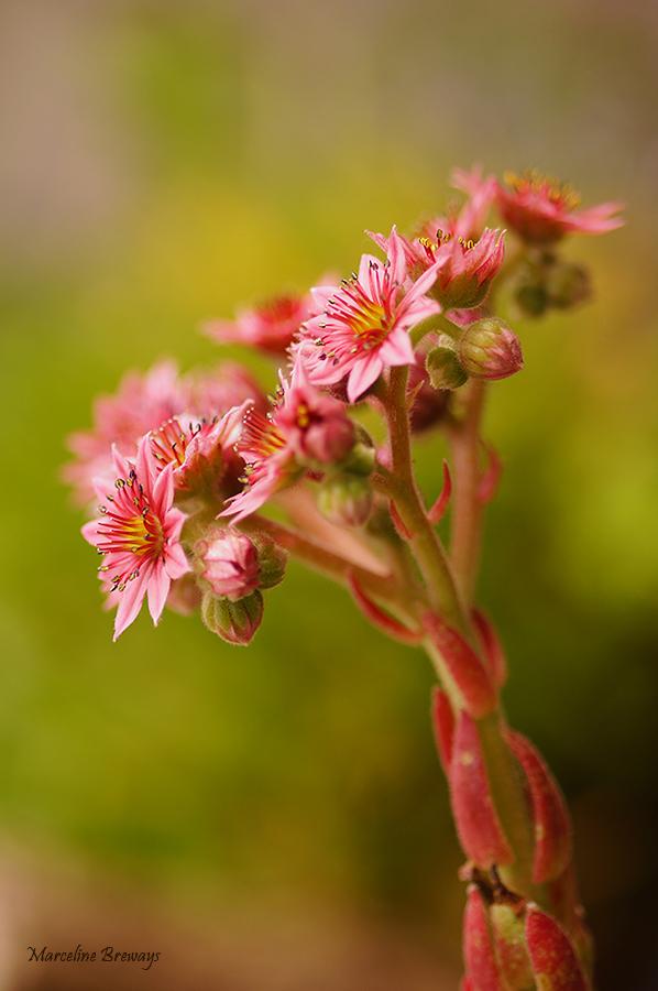 fleurd e joubarbe