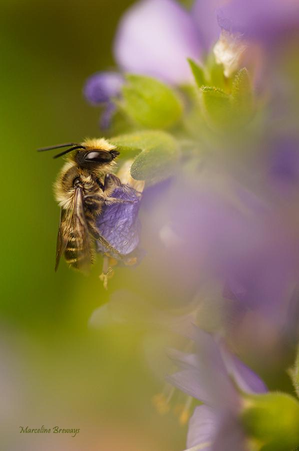 abeille osmie