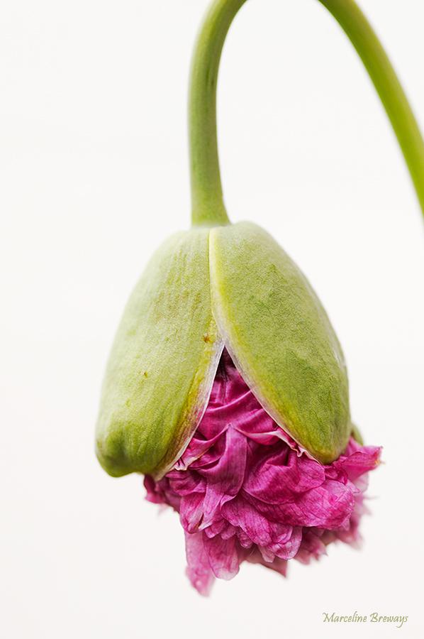 éclosion du pavot rose