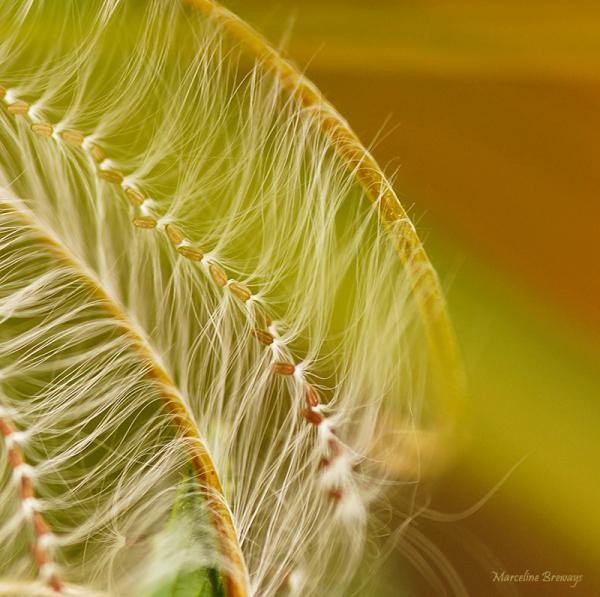 épilobe en graines
