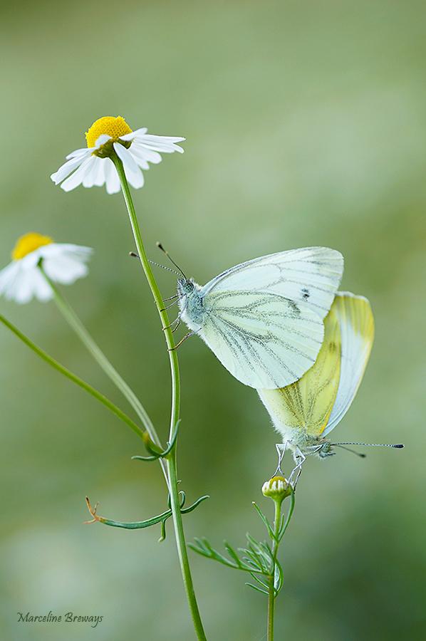 papillon blanc piéride camomille