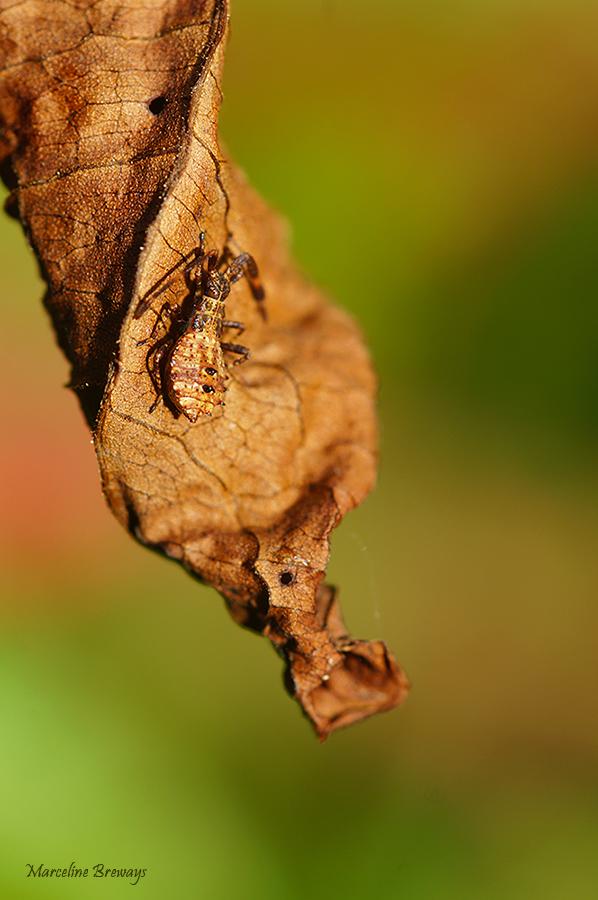 mimétisme insecte plante