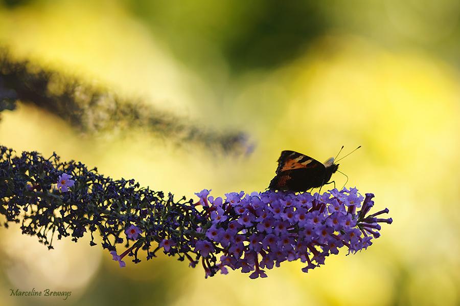 papillon sur buddleia