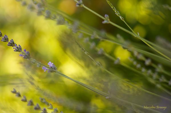 lavande sur fond jaune