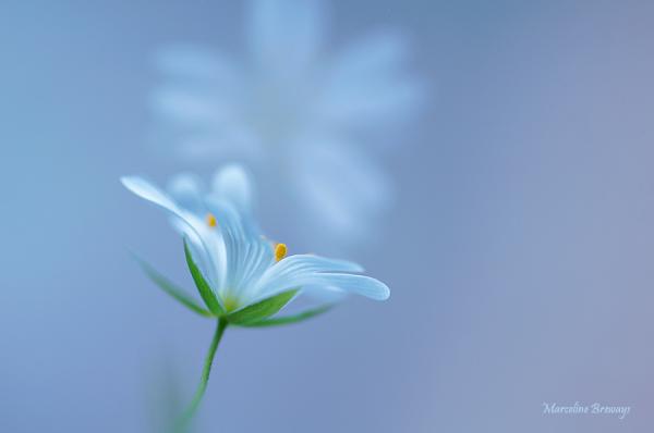 jeune stellaire au printemps