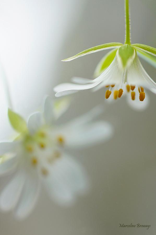 fleur de stellaire