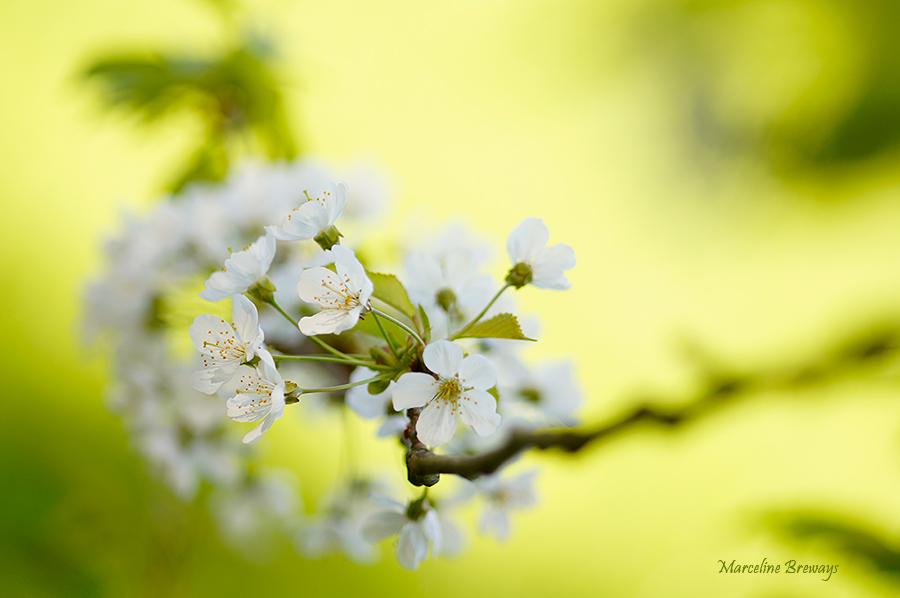 fleurs de cerisier au printemps