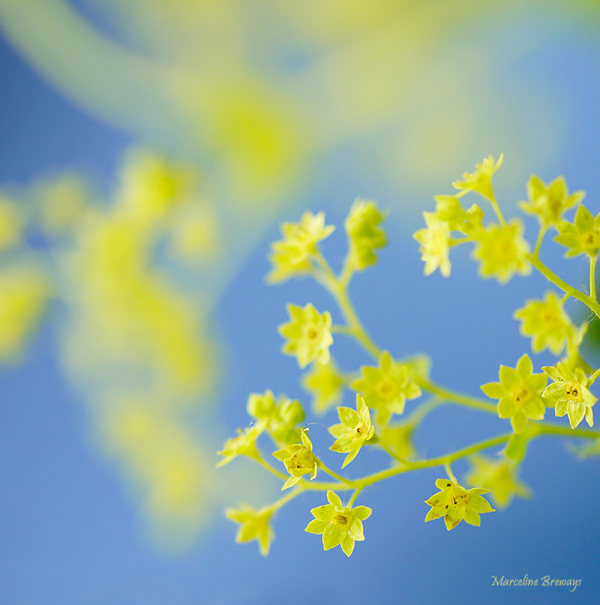 fleur d'alchemille
