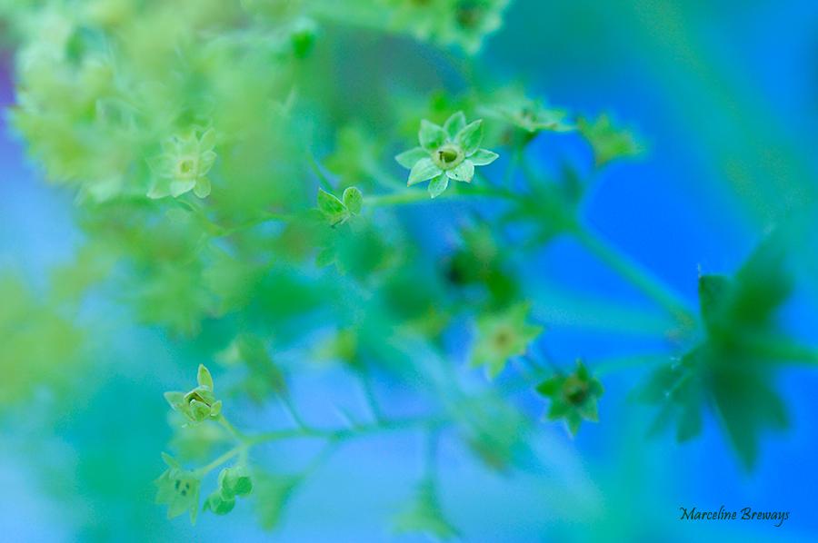 fleur alchémille