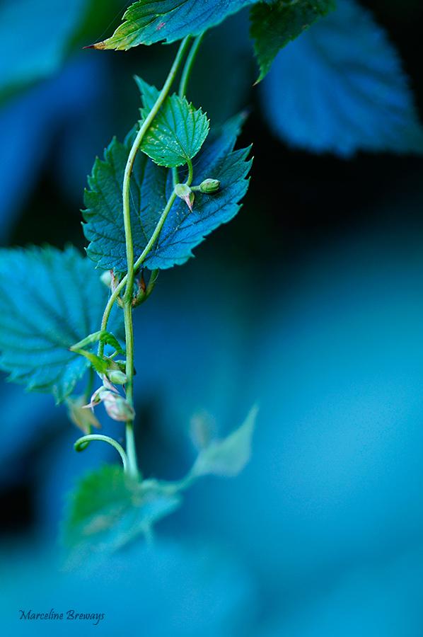fleur et fruit du houblon