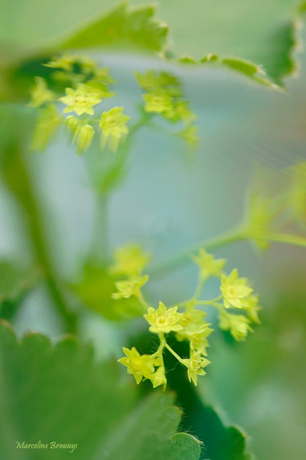 fleur d'alchémille
