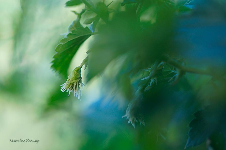 fruit de houblon