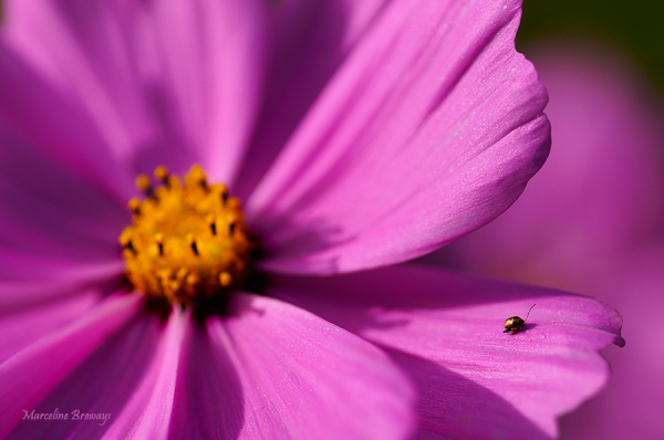 insecte sur fleur de cosmos