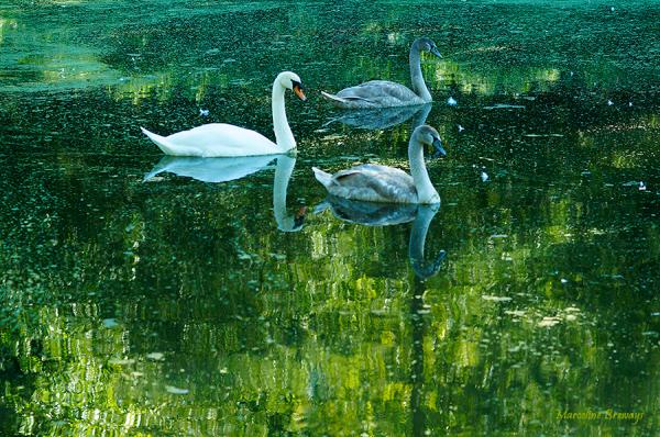 trois cygnes sur l'eau