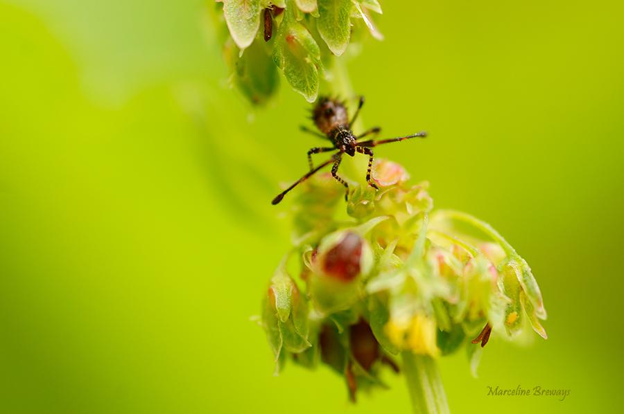 insecte sur oseille