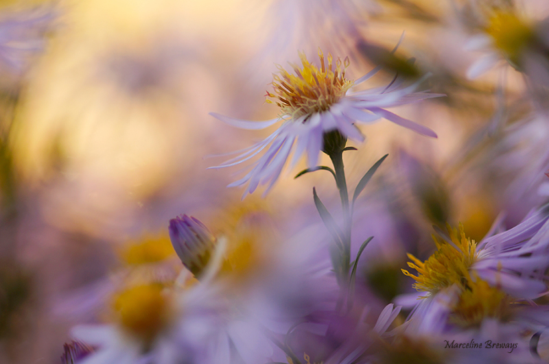 fleur aster automnale