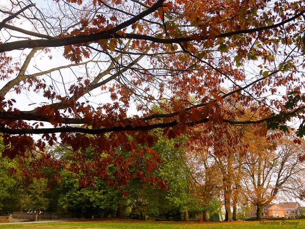 chêne rouge en automne