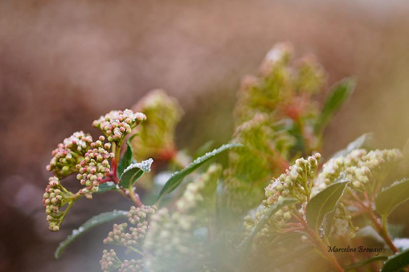 fleur de viburnum