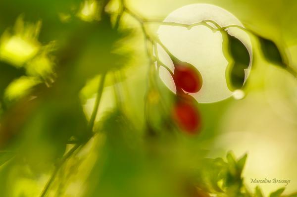 baies rouges en fin d'été