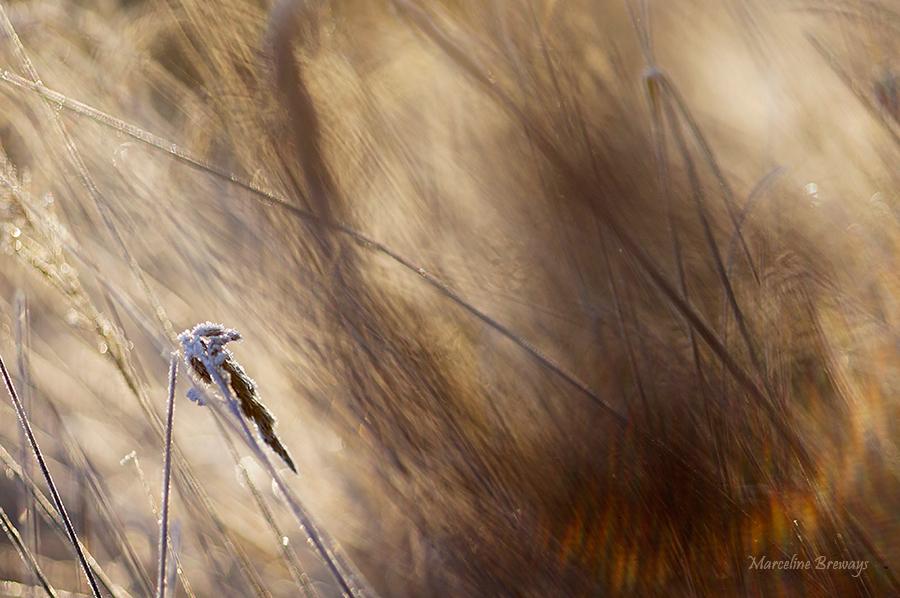 herbes en hiver sous le gel